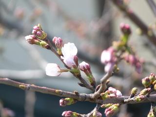 桜2012.JPG
